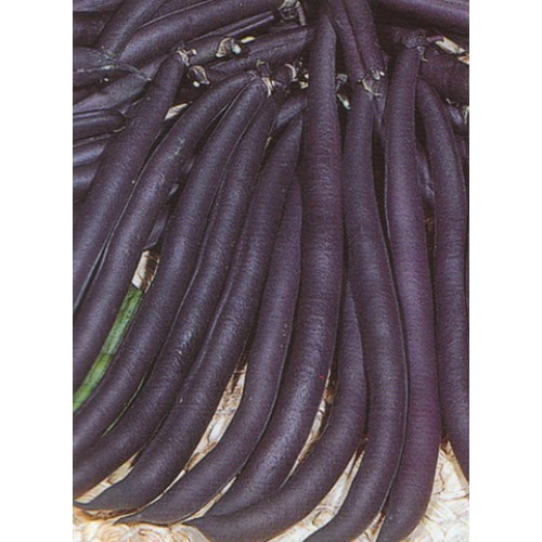 Bush Bean Seeds, Purple Queen