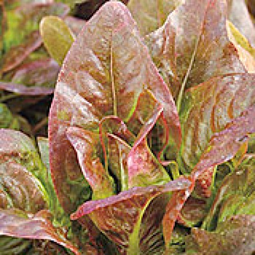 Romaine Lettuce Seeds, Red Amish Deer Tongue ORGANIC