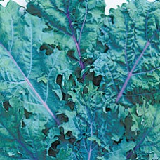 Kale Seeds, Red Russian untreated