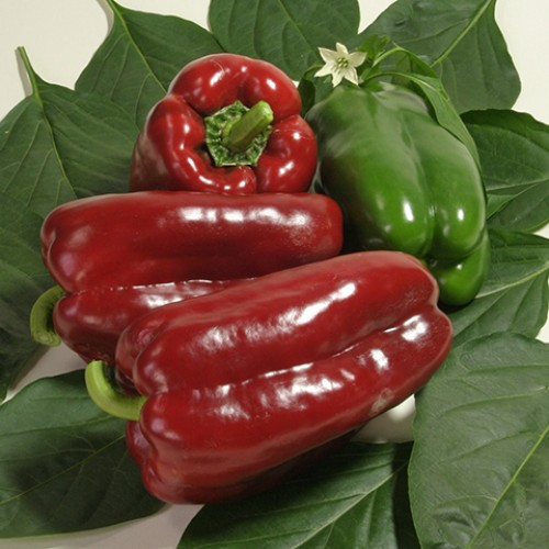 Pepper Seeds, Reina F1 Hybrid