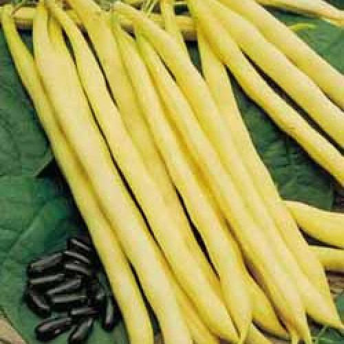 Bush Bean Seeds, Rocquencourt