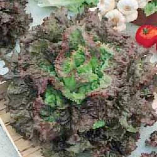 Lettuce Seeds, Rossa Di Trento
