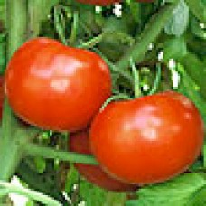 Tomato Seeds, Rutgers Improved VF ORGANIC