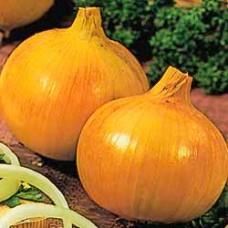 Onion Seeds, Senshyu