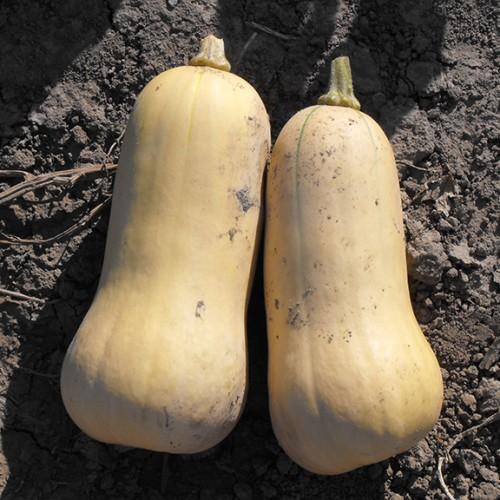 Squash Seeds, Butternut Victory F1 Hybrid