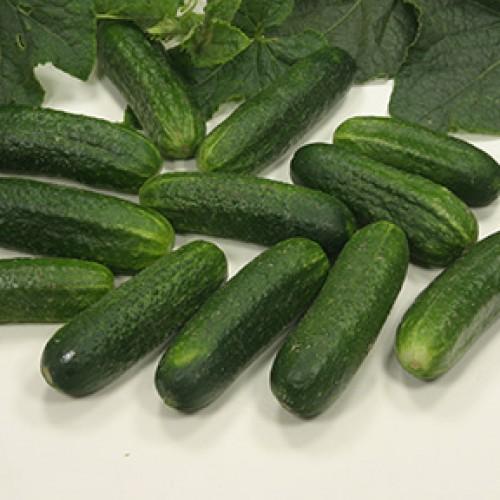 Cucumber Seeds, Stimora F1 Hybrid ORGANIC
