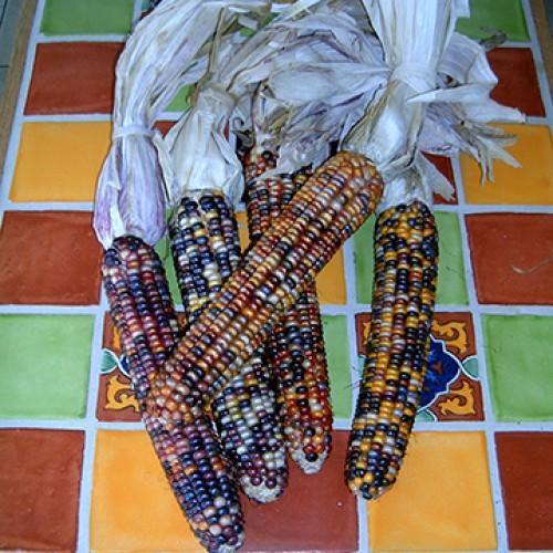 Ornamental Corn Seeds, Stoney Creek Giant