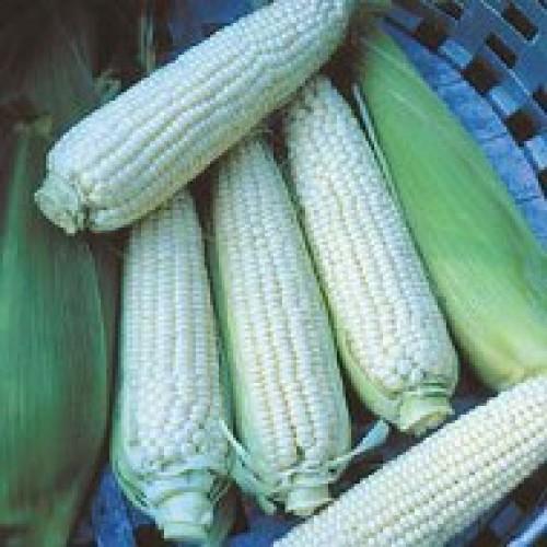 Sweet Corn Seeds, Stowell's Evergreen