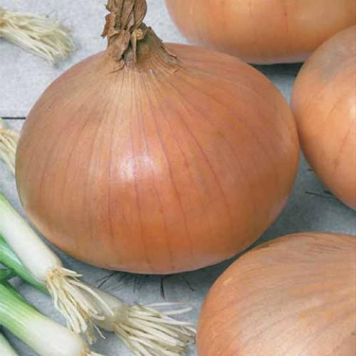 Onion Seeds, Stuttgarter