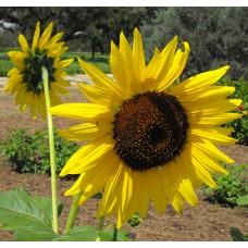 Sunflower Seeds, Tall Classics Mix