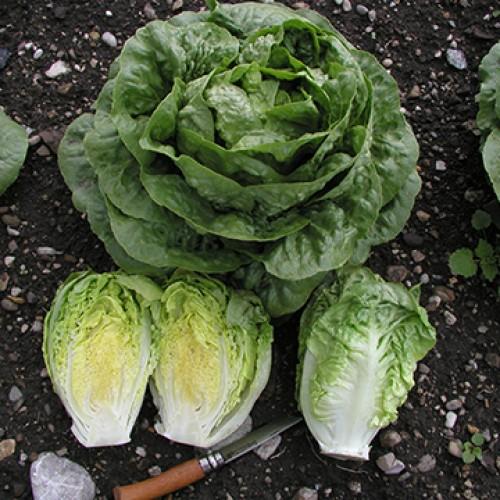 Romaine Lettuce Seeds, Tantan ORGANIC