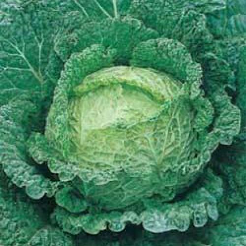 Savoy Cabbage Seeds, Testa Di Ferro
