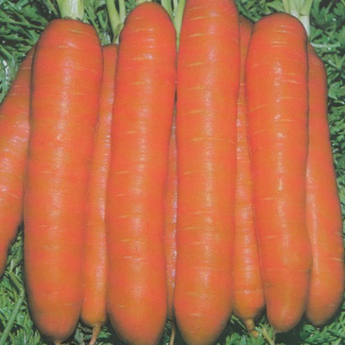 Carrot Seeds, Touchon