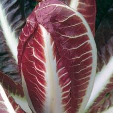 Radicchio Seeds, Rossa di Treviso 4 Precoce