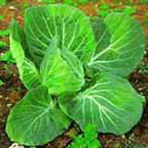 Cabbage Seeds, Portugese Tronchuda