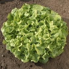 Lettuce Seeds, Smile