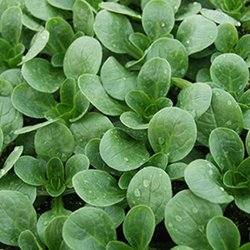 French Corn Salad Seeds, Vit (Mache) ORGANIC