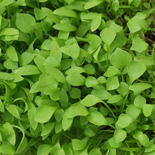 Winter Purslane Seeds (Miner's Lettuce)