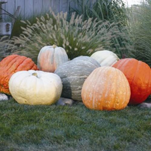 Pumpkin Seeds, World Of Color (Giants)