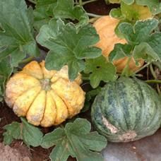 Melon Seeds, Zatta