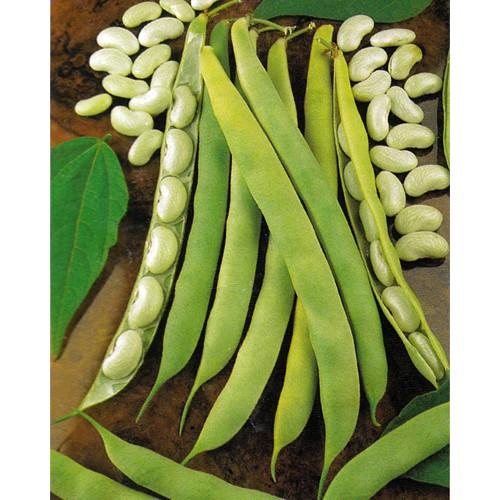Bush Bean Seeds, Lingot Cannellini