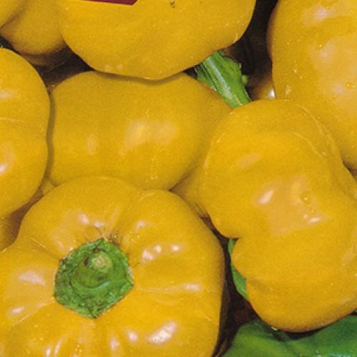 Pepper Seeds, Botinecka Zuta (Topepo Yellow)