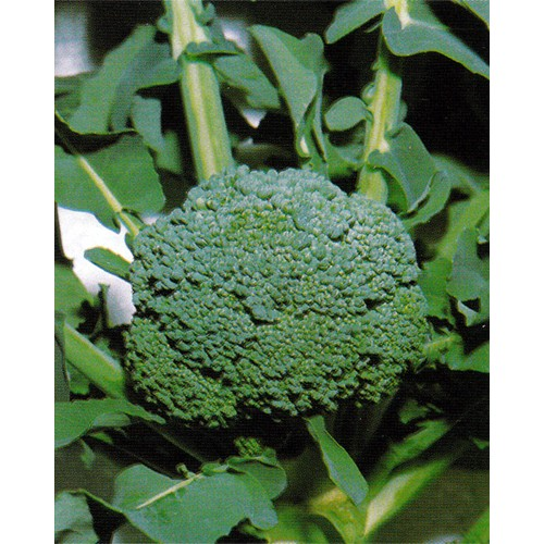 Broccoli Seeds, Calabrese Early (Natalino)