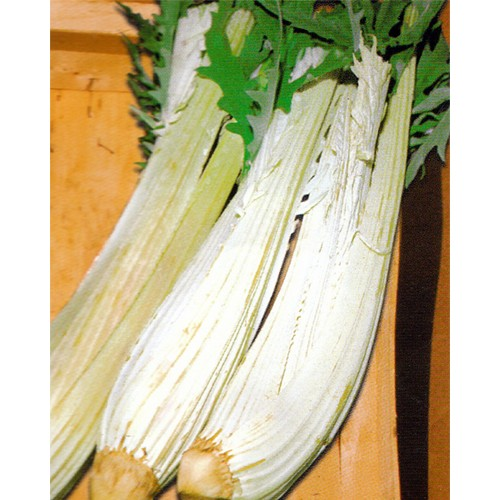Cardoon Seeds, Avorio Large Smooth