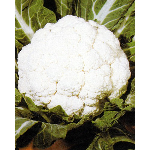 Cauliflower Seeds, Giant Of Naples Early