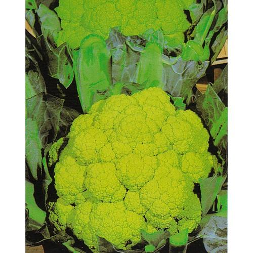 Cauliflower Seeds, Marches Green
