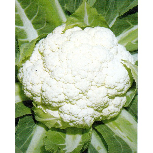 Cauliflower Seeds, Early Tuscan