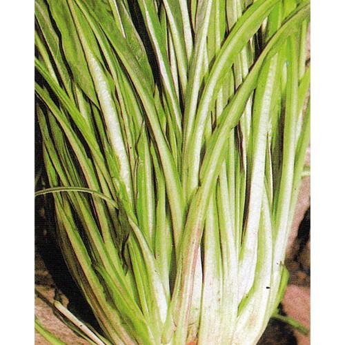 Chicory Seeds, Catalogna Puntarelle Stretta