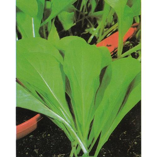 Chicory Seeds, Spadona da Taglio