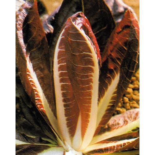 Radicchio Seeds, Rossa di Treviso Rio S Martino