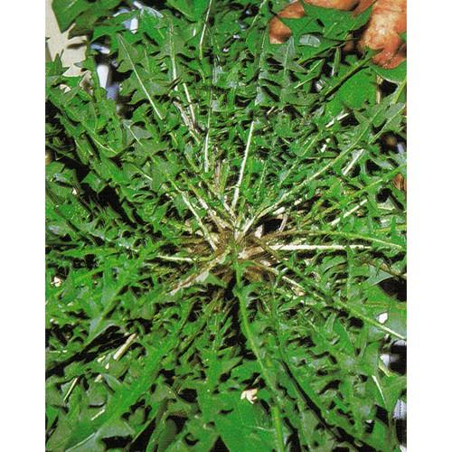 Chicory Seeds, Wild White Stem
