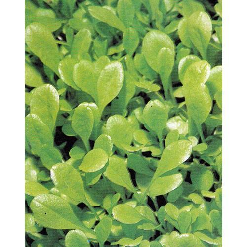 Chicory Seeds, Trieste Sweet