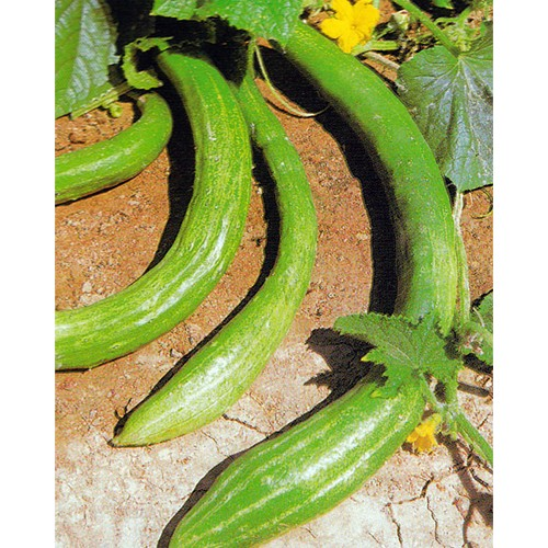 Cucumber Seeds, Long China (degli Ortolani)