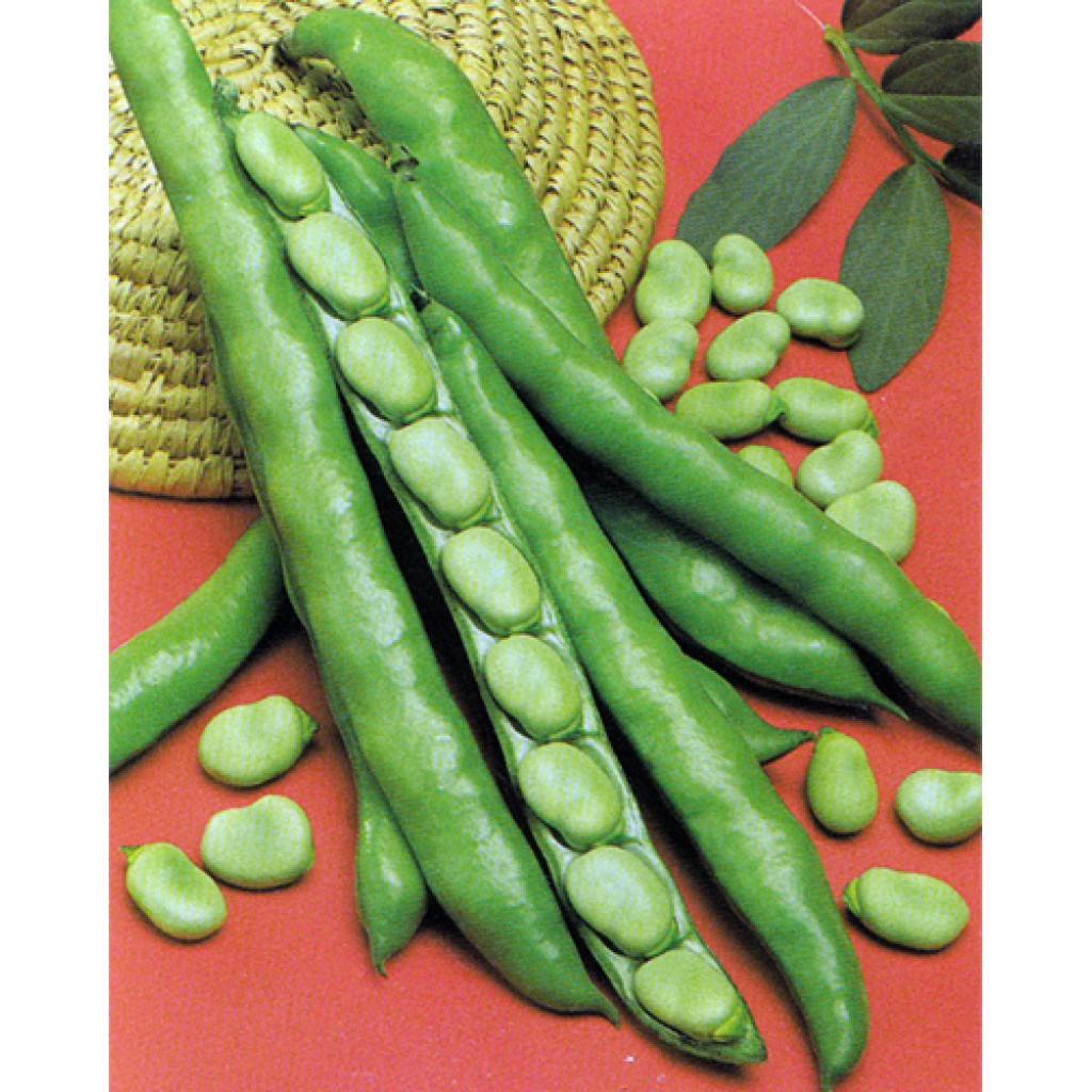Seeds Fava superaguadulce Morocco The Ortolan Beans Seed Plants 1kg 500gr 250gr