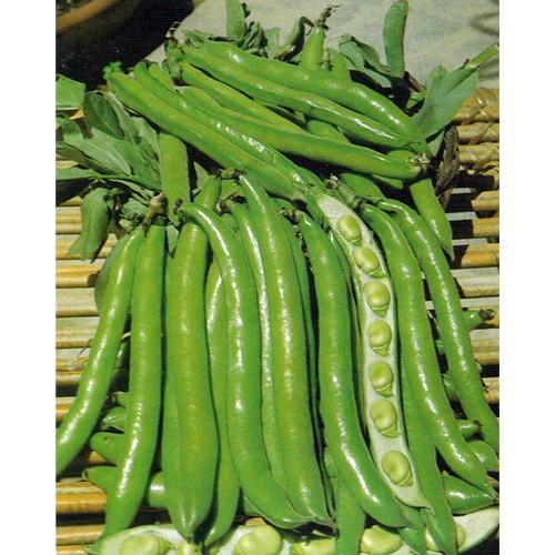 Fava Bean Seeds, Supersimonia variety Samba