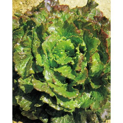 Lettuce Seeds, Canasta