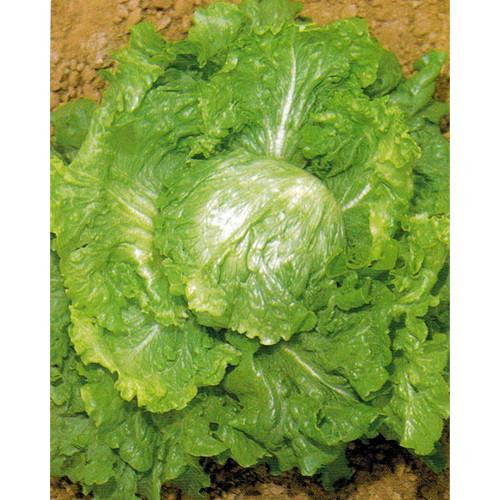 Lettuce Seeds, Batavian Bionda Di Parigi