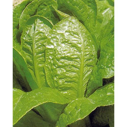 Romaine Lettuce Seeds, Verde d'Inverno