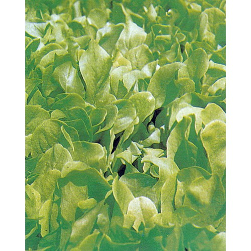 Lettuce Seeds, Bionda A Foglia Liscia