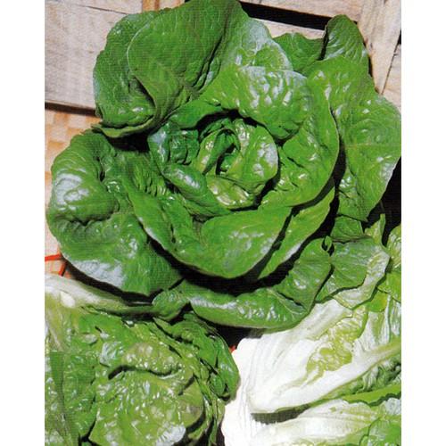 Romaine Lettuce Seeds, Mortarella Verde d'Inverno