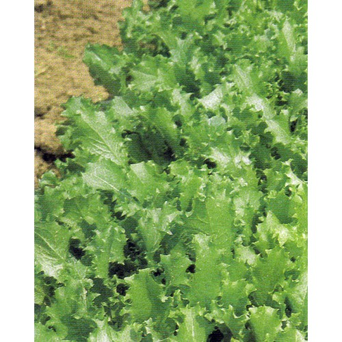 Lettuce Seeds, Verde Ricciolina
