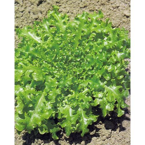 Lettuce Seeds, Salad Bowl