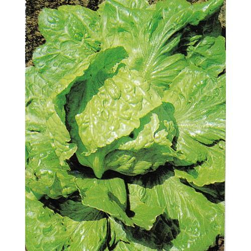 Lettuce Seeds, Webbs Wonderful