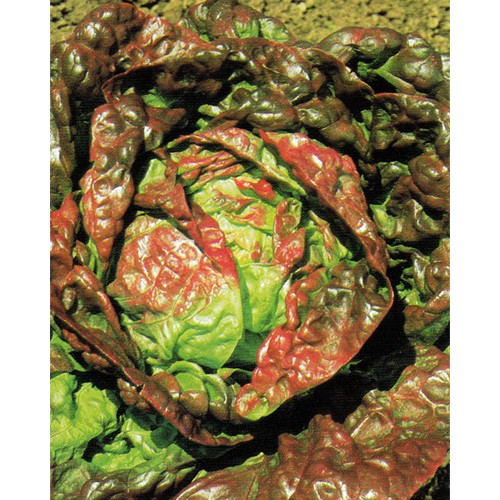 Lettuce Seeds, Marvel Of Four Seasons