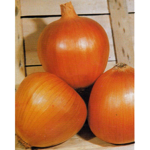 Onion Seeds, Dorata di Parma