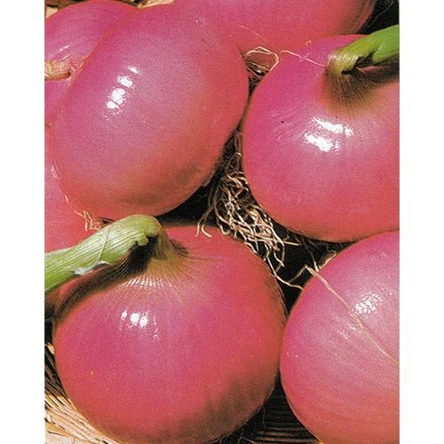 Onion Seeds, Rossa Savonese